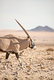 Oryx walking along in desert landscape.