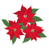 three red poinsettia flowers on white