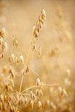 ear oats