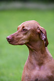 Close-up of Hungarian Vizsla sitting in garden