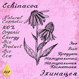 Echinacea botanical illustration