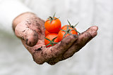 farmer hand full of fresh cherry tomatoes