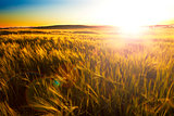 Wheat filed and sunset.Agriculture