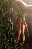 Freshly grown carrots