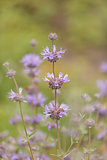 Cleveland sage plant Salvia clevelandii