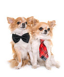 chihuahuas with tie