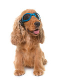 cocker spaniel with glasses