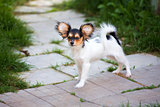 Portrait of a four month-old Papillon puppy