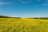 Yellow rapeseed field in bloom