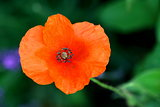 Poppy   Papaver rhoeas