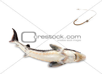 Fished sterlet and old rusty fish hook