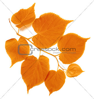 Autumn tilia leafs on white background