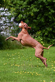 Hungarian Vizsla jumping to catch toy hamburger