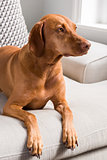 Hungarian Vizsla lying on sofa facing right