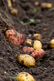 Fresh dug potatoes in the garden in the ground