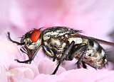 Common housefly in pink flower