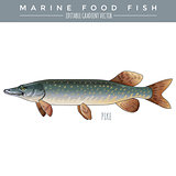 PIke. Marine Food Fish