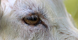 Goats Eye closeup