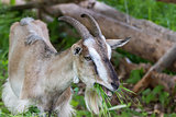 Adult village goat