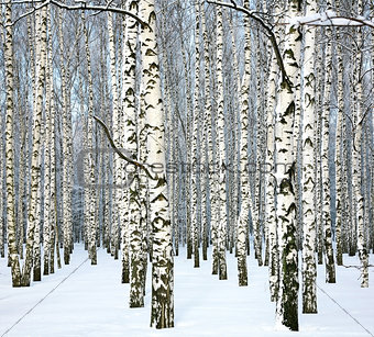 Slender winter birch and blue sky