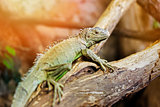 green iguana on a tree branch