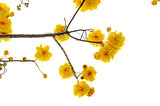 Yellow flowers of Cochlospermum Regium on white background