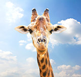 Closeup portrait of giraffe on blue sky background.