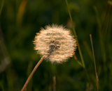 Dandelion Backlit