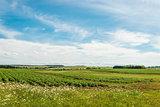 Green field of potatoes