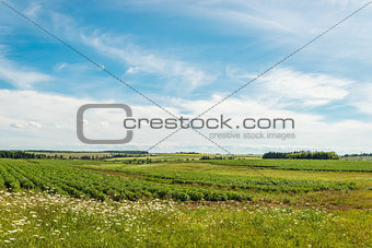 Green field of potatoes