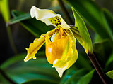 Closeup of Lady's Slipper Orchid