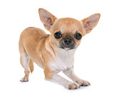 young chihuahua in studio
