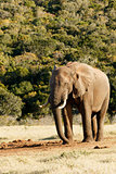 Strike a Pose - African Bush Elephant