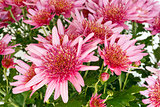 Pink Chrysanthemum flowers closeup.