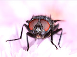 Common housefly face closeup macro
