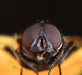 Housefly face macro close-up