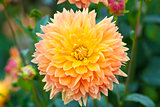 Dahlia orange and yellow flowers full bloom closeup
