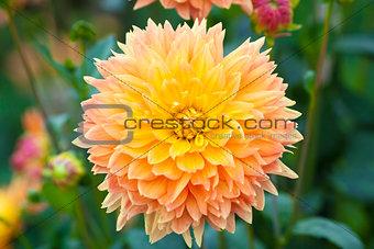 Dahlia orange and yellow flowers full bloom closeup