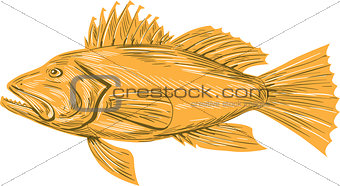 Black Sea Bass Drawing