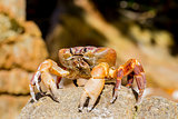 Hairy leg mountain crab, Tachai island, Phang Nga, Thailand