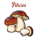 Set of porcini edible mushrooms