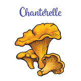 Set of chanterelle edible mushrooms