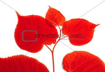 Red sprig of linden-tree