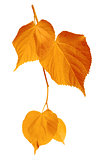 Yellowed leaves on white background