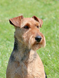 Typical Welsh Terrier in the garden