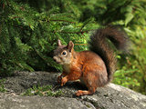 Cute red squirrel under a spruce branch