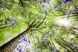 Bluebells from worms eye view