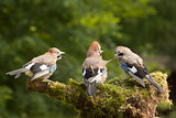 Jay bird family of three feeding
