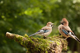 Jay bird feeding young chick