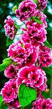 hibiscus. Blur Red Hibiscus Flower. mallow